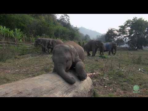 Clumsy Baby Elephant