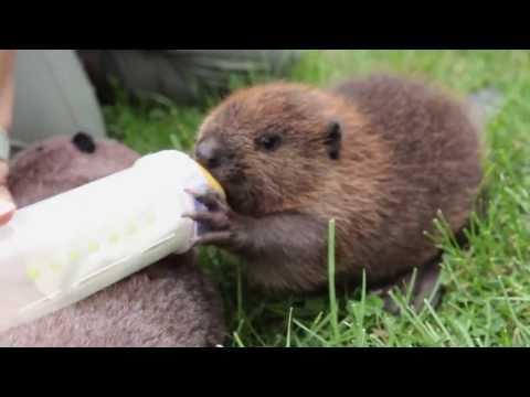 Orphaned Baby Beaver Drinks Bottle Of Beaver Forumla At PWRC