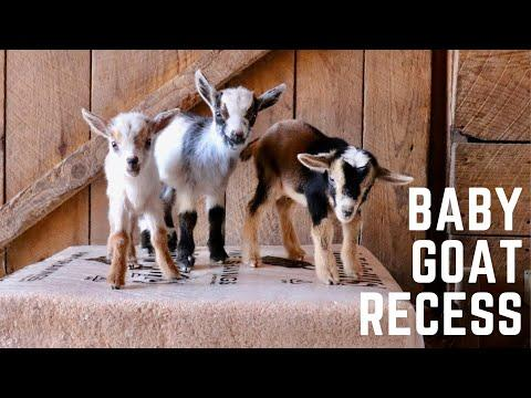 Sunflower Farm Goat Kids Video