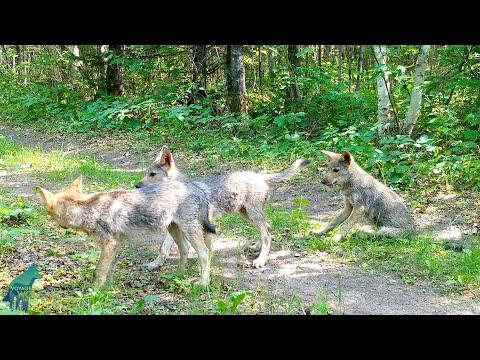 Six wolf pups playing in northern Minnesota #Video