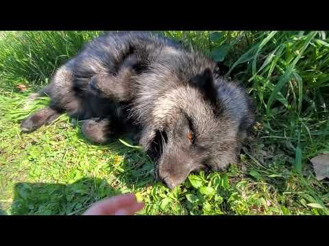 Foxes napping in the sun #Video