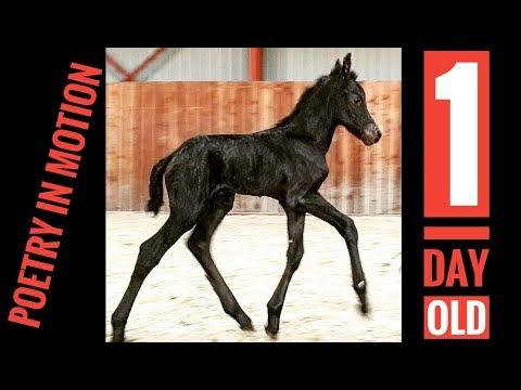 Watch and enjoy this newborn little filly. Klaske is only 1 day old.