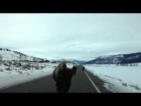 Buffalo Rams Car At Yellowstone National Park