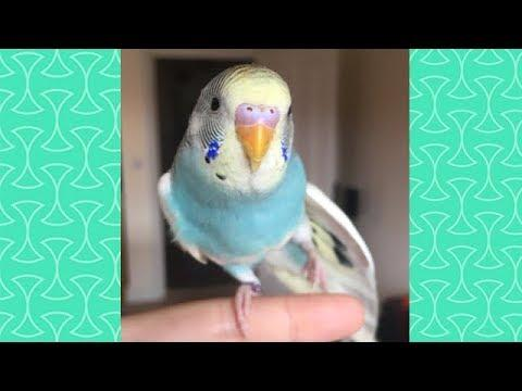 Cute Budgie Parrot Compilation  -  FUnny birds Videos