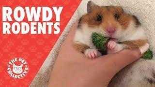 Rowdy Rodents | Funny Pet Video Compilation 2017