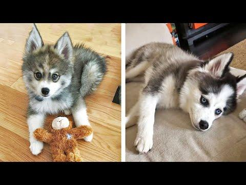 Funny And SOO Cute Husky Puppies Compilation #25 - Cutest Husky Puppy #Video