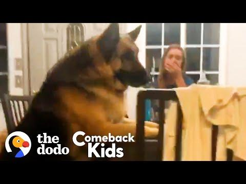 150-Pound German Shepherd Loses 50 Pounds Video | The Dodo Comeback Kids