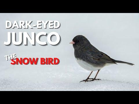 Snowbirds Video - Fun Facts About the Winter Habits of Dark-eyed Juncos