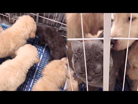 Golden Puppies Meets their Cat Brother Video
