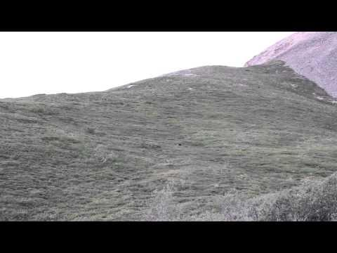 Grizzly Bear Rolling Down A Hill