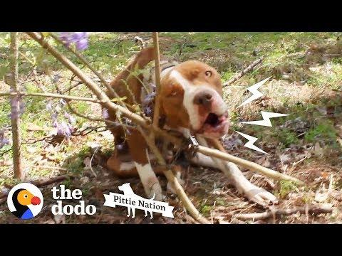 Pit Bull Chained to Tree Transforms Into the Happiest, Prettiest Girl | The Dodo Pittie Nation