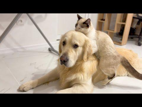 Funny Cat vs Cute Golden Retriever Dog