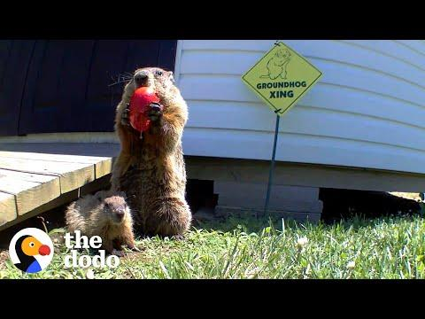 Guy Builds Veggie Garden For Family Of Groundhogs #Video