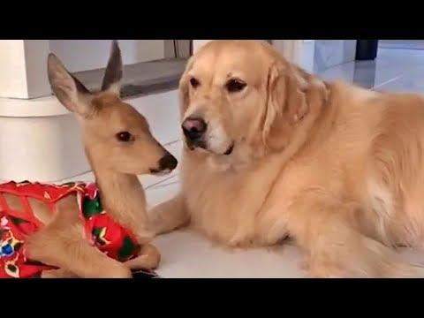 Baby Deer and Golden Retriever Video. Adorable Friends