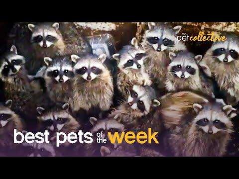 Trash Panda Party | Best Pets of the Week