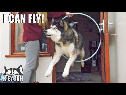 HUSKY Tries to go Through the WALL Instead of HOOP! #Video