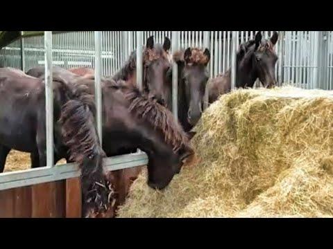 WEANING!! The Friesian horse foals.