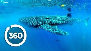 Whale Sharks at Risk | Racing Extinction (360 Video)