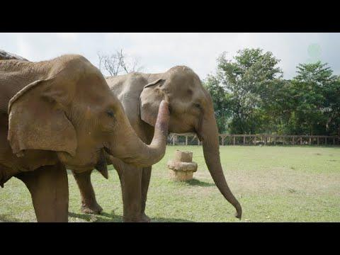Weak Elephant Yai Boon Getting Stronger After Being Rescued For The Last 7 Months