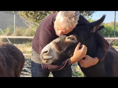 When does a donkey think he's a monkey? #Video