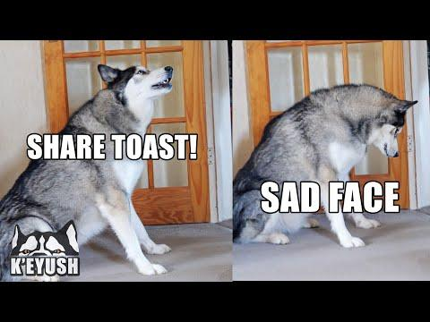 My Husky Annoys My Mum And Makes Her Feel Guilty Video!
