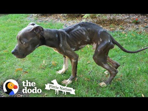 Starving Pittie Transforms Into The Bounciest Puppy  | The Dodo Pittie Nation