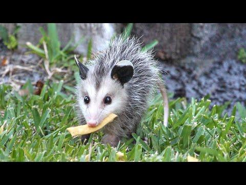 Baby Opossum's Day Out - Mother's Day Special