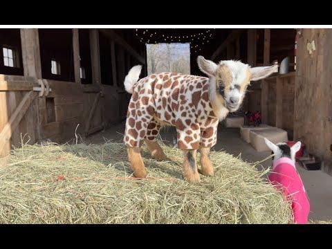 Goat Baby Pajama Rama Video
