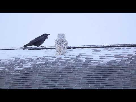 Owl & Raven Video