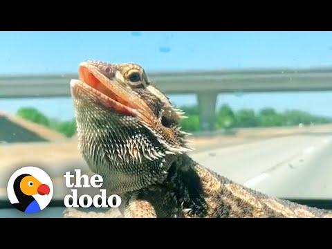 Bearded Dragon Comes Running When His Mom Calls Him #Video