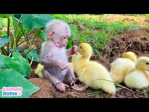 Baby monkey helps dad take care of ducks #Video