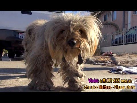 Violet: A MUST SEE Rescue Of A Sick Maltese