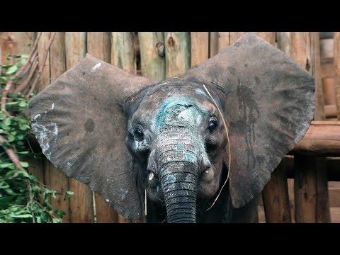 Cutest Elephant Calf Rescued After Poaching Attack