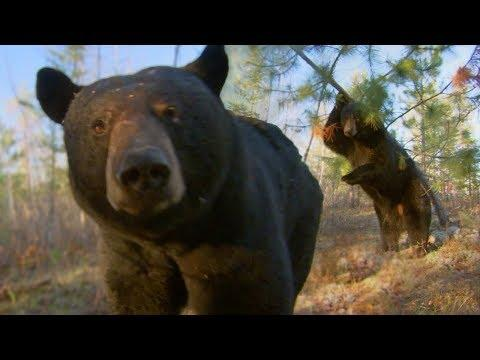 Black Bears Dancing In The Woods...