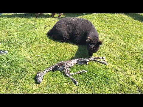 Alpaca Gives Birth to Strange Baby. Your Daily Dose Of Internet. #Video
