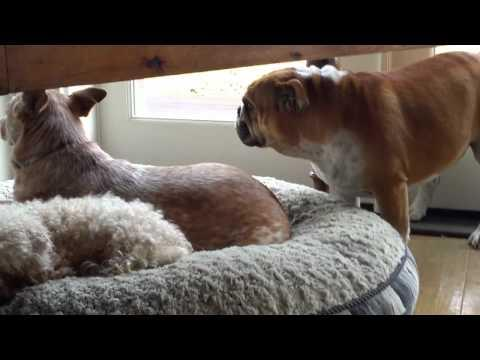 Bulldog Throws Tantrum Over Other Dog Stealing His Bed
