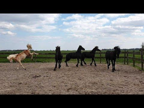 4 One year old Friesian horses and 1 Haflinger