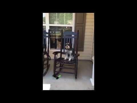 Dog Rocks In Rocking Chair