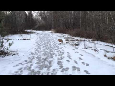 Playful Red Fox Goes For A Walk With Human