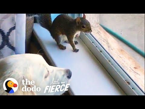 Baby Squirrel Grows Up In A Pack Of Dogs Video
