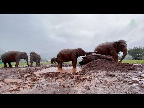 Elephant Wake Up Friend To Having Fun Under The Rain - ElephantNews #Video