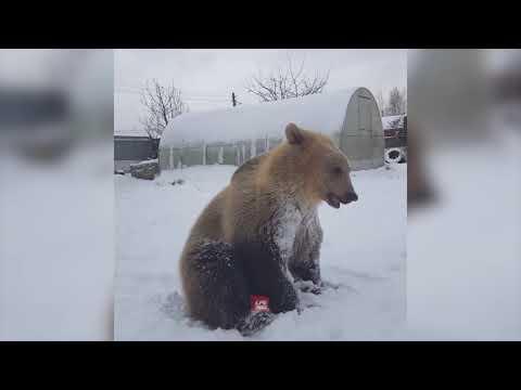 Meet Stepan The Bear Video || Manamana