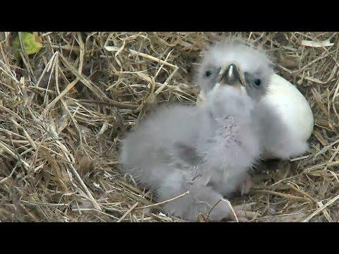 Highlights Of Cute Baby Eaglets From D.C. Eagle Cam