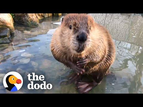 Beaver Who Loves the Bathtub Gets His Very Own Pond Video