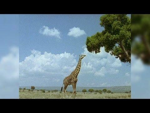 Giraffes: Nature's Walking Hedge Trimmers
