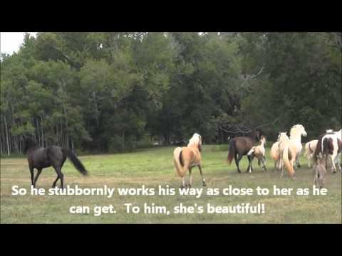 Terror in the pasture -- Donkey and Tennessee Walking Horses