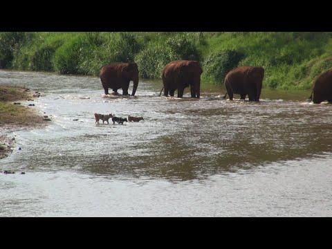 Dogs follow each other to crossing river same like elephants