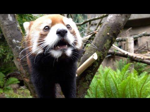 Red Panda Mei Mei Finds Treats