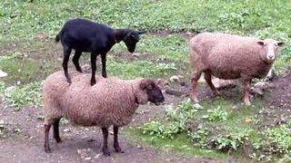 SHEEP & GOATS can be SUPER FUNNY, SEE FOR YOURSELF! - Funny ANIMAL compilation