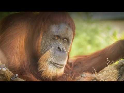 World's oldest orangutan turns 60 at Oregon Zoo